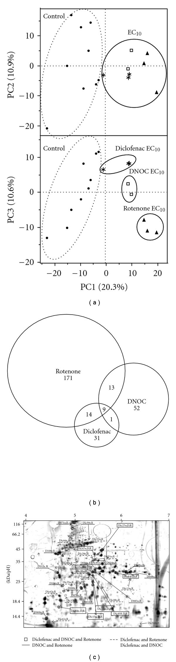 Comparison of results from toxicoproteomics experiments with Rotenone, DNOC, and Diclofenac exposure. (a) PCA scores when all samples are included in PCA analysis. (b) Venn-Diagramm based on results from substance-specific univariate spot-to-spot analysis. Most of the protein spots changed specifically. 9 proteins concurrently changed after Rotenone, DNOC, and Diclofenac treatment. Moreover, 13 proteins simultaneously changed after Rotenone and DNOC treatment, and 14 proteins showed changed expression levels at exposure against Diclofenac or Rotenone. Only one protein was found to be changed in the larval protein samples after DNOC as well as Diclofenac treatment. (c) 2-DE gel from eleutheroembryonal protein samples. All proteins that significantly changed in expression in at least two toxicoproteomics experiments (treatment with either Rotenone, DNOC, or Diclofenac) are labelled: Protein labels of protein spots simultaneously altered in Rotenone, DNOC, and Diclofenac experiments are framed (□), in Rotenone and DNOC experiments are underlined (—), in Rotenone and Diclofenac experiments are dashed (—), and in DNOC, and Diclofenac experiments are labelled by name only.