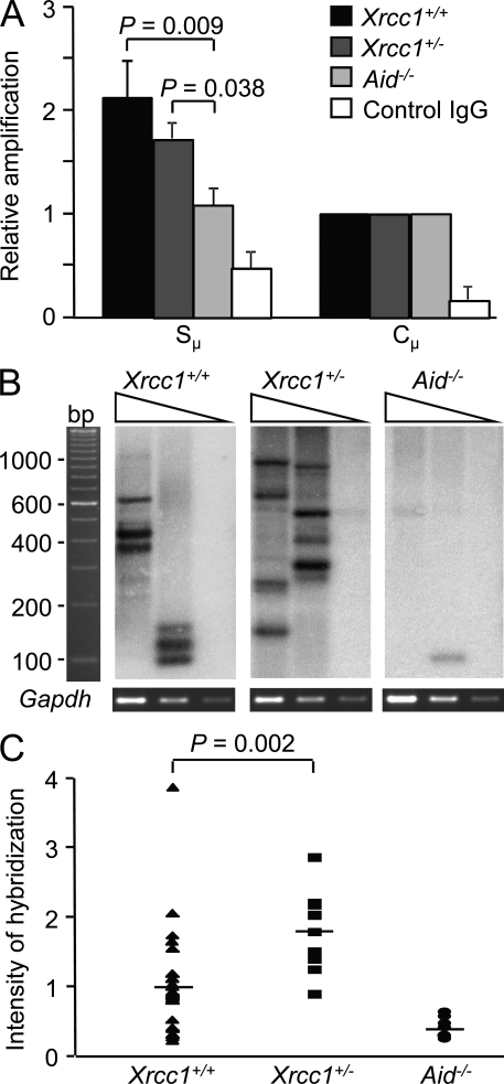 Xrcc1 +/− cells have increased double-strand breaks. (A) Localization of XRCC1 to the S μ region as assessed by ChIP in Xrcc1 +/+ , Xrcc1 +/− , and Aid −/− cells stimulated with LPS and IL-4 for 2 d. Numbers are graphed relative to input DNA. Both S μ and control IgG signals are standardized to C µ signals. For Xrcc1 +/+ and Aid −/− cells, error bars represent the SD of values from three independent experiments with one mouse per genotype per experiment. For Xrcc1 +/− cells, error bars represent the SD of values from two independent experiments with one mouse per genotype per experiment. Significance was determined by the Student's t test. (B) LM-PCR was performed on dilutions of DNA from cells stimulated with LPS plus IL-4, using Gapdh amplification as a loading control. After electrophoresis, bands were identified by hybridization to S μ . Representative blots are shown. (C) Quantification of breaks from the LM-PCR assay was performed using the highest dilution of DNA and was calculated from 10 independent PCR reactions each from two Xrcc1 +/− and two Aid −/− mice and 30 independent reactions from six Xrcc1 +/+ mice. Horizontal bars show the mean intensity of hybridization. Statistical analysis was performed using a two-tailed Student's t test.