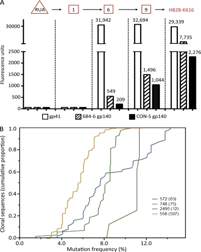 Characteristics of <t>anti–HIV-1</t> gp41 Env clonal lineages. (A) Analysis of the reactivity of inferred RUA, intermediates, and observed antibodies in clonal lineage 558 with HIV-1 rgp41, autologous Env <t>gp140,</t> and CON-S Env gp140. The RUA (triangle) and reverted intermediates 1, 6, and 9 (square boxes), as well as observed antibody H828-K616, were assayed for reactivity with rgp41, autologous 684–6 gp140, and the <t>group</t> M consensus gp140 CON-S by Luminex assays. (B) V H sequences of clonal lineages identified by 454 deep sequencing. Shown are the numbers of clonal sequences (on the y axis) with the percentage of nucleotide change from germline sequences (on the x axis) for each of HIV-1 Env-reactive clonal lineage m (indicated by clonal lineage number with number of sequences found in parentheses) identified by 454 deep sequencing from genomic DNA of B cells of acute HIV-1 subjects. Sequences with identical V, D, and J segment usage and identical V-D and D-J junctions were considered to be members of an individual B cell clone. Data are representative of three separate experiments.