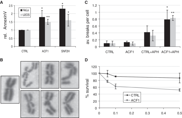 ACF1 depletion increases <t>apoptosis</t> and sensitivity to aphidicolin (APH). ( A ) <t>Annexin</t> V staining of U2OS and HeLa cells 72 h after transfection with siRNA1 against SNF2H or ACF1 measured by FACS analysis. PI staining allowed discarding the necrotic population. The fraction of positive cells for each condition was determined and the values normalized to the corresponding controls, which were set to 1. ( B ) Examples for metaphase chromosomes without (left) or with the types of visible breaks counted to arrive at the numbers in (C) (right). ( C ) Quantification of the number of breaks in ACF1-depleted (ACF1) and control cells (CTRL) after 24 h incubation with 0.1 µM of APH. Two different siRNA pairs where used to deplete ACF1 (black: siRNA1, grey: siRNA2). From each sample 50 cells were counted. ( D ) Clonogenic survival of HeLa cells after ACF1 depletion and controls in response to 0.05, 0.1 or 0.5 µM of APH.