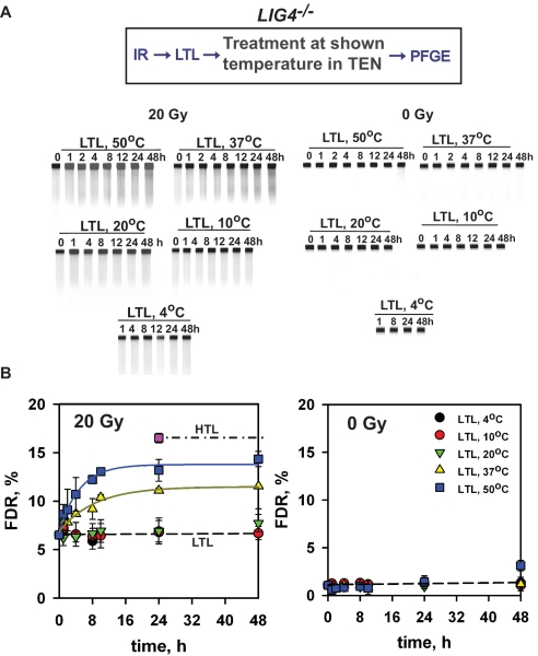 Generation of excess DSBs after in vitro incubation of DNA from irradiated cells at different temperatures. LIG4 − / − MEFs were embedded in agarose, exposed to 20 Gy X-rays and subjected to LTL as described under 'Materials and Methods' section. Subsequently, agarose blocks were incubated at different temperatures for different periods of time in TEN-buffer before analysis for DSBs by PFGE. ( A ) Shows typical ethidium bromide stained gels of irradiated and non-irradiated samples at the different treatment conditions. ( B ) Shows change in FDR as a function of time at the different incubation temperatures for samples exposed to IR, as well as for the corresponding non-irradiated controls. The observed increase in FDR reflects an increase in the formation of DSBs during the period of in vitro incubation caused by the conversion of labile lesions to DSBs. Results shown represent the mean and standard error calculated from six determinations in two experiments.