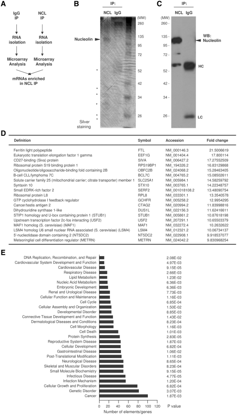 Identification of nucleolin target mRNAs by RNP IP and microarray analysis. ( A ) IP assay using 3 mg of protein lysate prepared from HeLa cells and 20 μg of either anti-nucleolin antibody or IgG under conditions that preserved mRNP complexes. ( B ) Visualization of proteins present in the anti-nucleolin or IgG IP reactions, including nucleolin (arrowhead) and several unidentified proteins (asterisks). ( C ) Nucleolin was detected by western blot analysis in aliquots of IP samples. ( D ) Partial list of nucleolin target genes identified by microarray analysis. The threshold considered was ≥2-fold. For a complete list, see Supplementary Table S1 . ( E ) Nucleolin target mRNAs were analyzed using Ingenuity Pathway Analysis (IPA). The top target transcripts are involved in cancer, infection, cell growth and proliferation. In (B and D), 'MW', molecular weight markers (kDa).