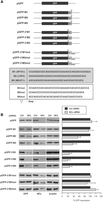 Reporter construct analysis to validate the nucleolin RNA motif. ( A ) Schematic representation of three nucleolin motif hits (M1, M2, M3) and the G-to-C mutant motifs (M1mut, M2mut and M3mut) cloned in the <t>3′-UTR</t> or the CR of pGFP reporter constructs. ( B ) Left, 48 h after cotransfection of these constructs either with Ctrl or NCL siRNAs, cells were lysed and western blot analysis was performed to assess the levels of GFP, nucleolin and loading control β-actin; right, GFP levels were quantified by densitometry and plotted. Transfection with NCL siRNA reduced nucleolin levels to ~21% (pGFP group), 28–46% (pGFP-M1, -M2, -M3 group), 26–34% (pGFP-3′M1, -3′M2, -3′M3 group), 32–39% (pGFP-3′M1mut, -3′M2mut and 3′M3mut group).