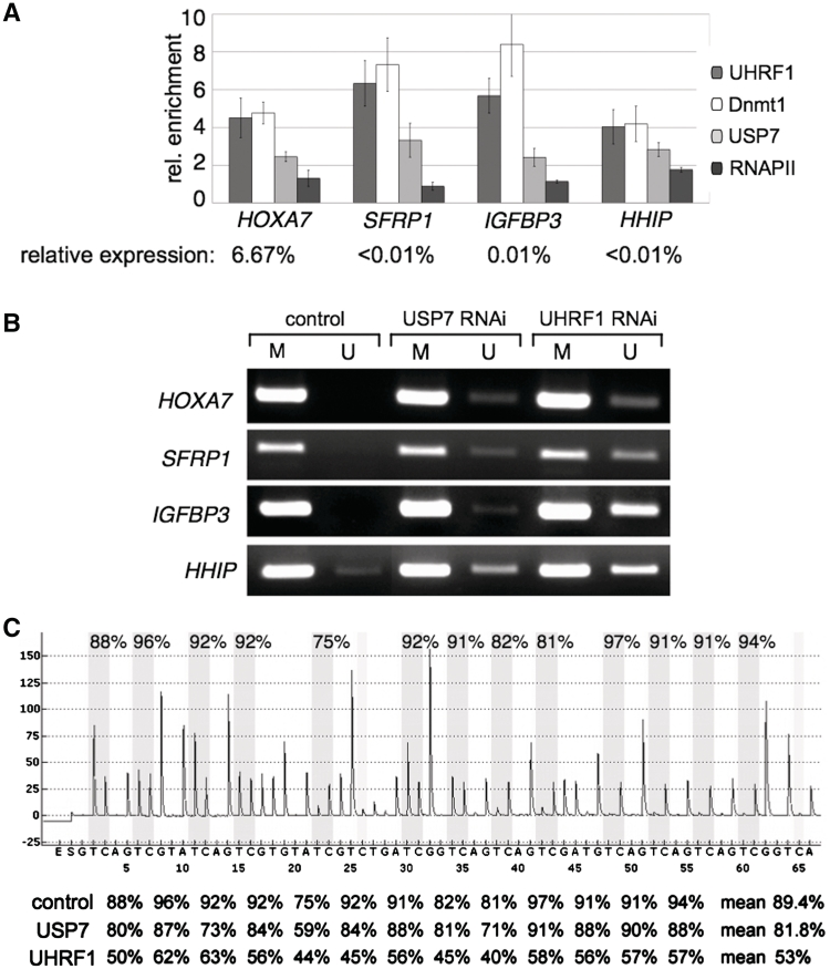 USP7 associates with Dnmt1 and UHRF1 on silenced genes in vivo . ( A ) Chromatin immunoprecipitation (ChIP) was performed with formaldehyde cross-linked HCT-116 cells and the indicated antibodies. The average of three independent ChIP experiments for Dnmt1, UHRF1, USP7 and RNAPII are shown. Standard deviations, target genes of interest and antibodies used for ChIP are indicated. The enrichment of specific IP versus IgG background is plotted. The relative expression levels of these genes compared to the TBP gene are given. ( B ) Promoter regions of the SFRP1, IGFBP3, HHIP and HOXA7 genes were analyzed for methylated (M) and unmethylated (U) CpG sites by MSP in the presence or absence of USP7 and UHRF1. Proteins were depleted by RNAi-mediated knockdown and the MSP analysis was performed with bisulfite-treated genomic DNA from HCT-116 cells. Representative images of MSP experiments are given. ( C ) Quantitative analysis of DNA methylation levels after UHRF1 and USP7 knockdown. Pyrogram trace obtained after pyrosequencing analysis of part of the HHIP promoter region containing 13 CpG sites (with potentially methylated cytosines shaded in gray). The y -axis represents the signal intensity in arbitrary units, while the x -axis shows the dispensation order. The percentage of DNA methylation at individual CpG positions of the HHIP promoter of cells transfected with non-targeting control, USP7 and UHRF1 siRNAs are shown below the pyrogram.