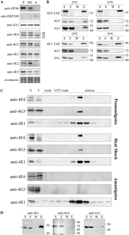 Characterization of the LeishIF4F complex during stage differentiation. ( A ) Expression levels of LeishIF4F subunits in wild-type L. amazonensis , exposed or not to heat shock and differentiated in vitro . Cells were lysed and samples with 50 µg protein from the supernatants were resolved on SDS–PAGE (10–15%) and subjected to western blot analysis using specific antibodies against GP46, HSP100, LeishIF4E-1 to -4, LeishIF4G-3 and LeishIF4A-1. P, promastigotes from late log phase cultures; HS, late log promastigotes following a transient exposure to 33°C for 2 h; A, axenic amastigotes 9 days after differentiation. Coomassie staining of Tubulin was used to verify the protein loads. ( B ) Pull-down experiments with TAP tagged LeishIF4E-1 or LeishIF4E-4 from L. major promastigotes, exposed or not to heat shock (35°C, 2 h). Cell extracts were affinity purified over streptavidin-Sepharose beads and then over m 7 GTP-Sepharose column. The pulled-down proteins were analyzed as described in Figure 1 A, using specific antibodies against LeishIF4E-1, LeishIF4E-4, LeishIF4G-3 and LeishIF4A-1. ( C ) m 7 GTP pulldown assays with wild-type L. amazonensis promastigotes, promastigotes after 2 h at 33°C and axenic-amastigotes, 9 days after differentiation. The cells were lyzed and loaded on a m 7 GTP-Sepharose column. The eluted proteins were analyzed as described in Figure 1 A, using specific antibodies against LeishIF4E-1, LeishIF4E-4 and LeishIF4G-3. ( D ) Pull-down experiments in axenic-amastigotes of L. amazonensis expressing SBP tagged LeishIF4E-1, 9 days after differentiation. Proteins were purified and analyzed as described in Figure 1 A, using specific antibodies against LeishIF4E-1, LeishIF4G-3 and LeishIF4A-1.