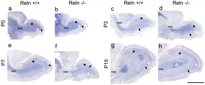 Pattern of Dab1 mRNA location in the postnatal olfactory bulb. Dab1 transcripts are shown in wt (a, c, e, g) and reeler (b, d, f, h) mice at P0 (a,b), P3, (c, d), P7 (e, f) and P15 (g, h). Transcripts are mainly detected in granular cells (black stars in GcL), mitral cells (white arrows in MCL) and several periglomerular cell populations and intra-glomeruli processes (black arrows in GL). No differences are observed between wt and reeler mice. Note the high presence of Dab1 mRNA in the rostral migratory stream (RMS) cells. Scale bar: 1 mm.