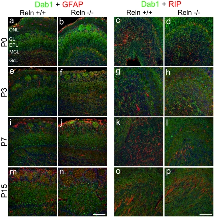 Identification of astroglial and oligodendroglial cell expressing Dab1. P0 (a–d), P3 (e–h), P7 (i–l) and P15 (m–p). Astrocytes are recognized by GFAP (a–b, e–f, i–j, m–n) whereas oligodendrocytes by RIP (c–d, g–h, k–l, o–p). At P0–P3, GFAP (red) is restricted to the ONL and GL (a–b, e–f) and onwards labels the remaining layers, being negative for Dab1 (i–j, m–n). RIP labeling (red) is restricted to non-myelin oligodendrocytes in the GcL at P0–P3 (c–d, g–h). At P7, RIP expression is located in myelin and non-myelin oligodendrocytes (k–l). Non-myelin oligodendrocytes are absent at P15 (o–p). In all cases oligodendrocytes are negatives for Dab1. Labeling pattern is indistinguishable between wt and reeler animals. Nuclei are counterstained with Hoechst (blue). ONL, olfactory nerve layer; GL, glomerular layer; EPL, external plexiform layer; MCL, mitral cells layer; GcL, granular cells layer. Scale bar: 100 µm.