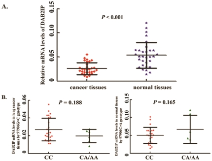 Association of the 97906C > A genotype and DAB2IP expressions. A, Relative mRNA levels of the DAB2IP expressions in lung cancer tissues compared to their adjacent normal lung tissues; B, Relative mRNA level of the DAB2IP expression by the 97906C > A genotype in lung cancer tissues. C, Relative mRNA level of the DAB2IP expression by the 97906C > A genotype in normal tissues. No significant association was observed between the 97906C > A genotype and DAB2IP mRNA levels neither in cancer tissues nor in normal tissues Columns, mean from three independent experiments; bars, SD; and Student's t test was used to test the differences in the expression levels of different constructs.