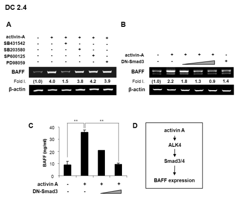 Activin A enhances BAFF expression through ALK4 and Smad3. (A) Activin A induces BAFF mRNA expression via ALK4. DC2.4 cells were pre-treated with 10µM SB431542, 10µM SB203580, 10µM SP600125, or 5µM PD98059 for 1 h and then stimulated with activin A (10 ng/ml) for 24 h. Levels of BAFF transcripts were determined by RT-PCR. (B) DC2.4 cells (1×10 6 ) were transfected with DN-Smad3 expression vectors (2, 4, 8µg) and stimulated with activin A (10 ng/ml) for 24 h. Levels of BAFF transcripts were determined by RT-PCR. (C) BAFF secretion by DN-Smad3-transfected DC 2.4 was measured by ELISA after 48 h incubation with activin A. Data are means of triplicate samples±SEM. ** p
