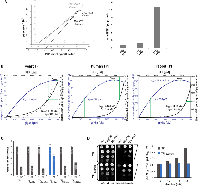 Phosphoenolpyruvate Accumulates in Cells with Low PYK Activity and Inhibits Triosephosphate Isomerase (A) <t>HILIC-MRM</t> quantification of <t>PEP</t> (left panel) Standard addition of PEP to whole-cell methanol/water yeast extracts; and quantification of PEP separated by HILIC using multiple reaction monitoring (MRM). Quantification is demonstrated by linear regression, R 2 vales of > 0.97 were obtained. (Right panel) HILIC-MRM quantification of PEP in TEF pr -PYK1 , CYC pr -PYK1 , and CYC pr -PYK2 yeast; PEP is strongly accumulated in yeast with low PYK activity. Error bars, ±SD, n = 3. (B) PEP inactivates yeast and mammalian TPI. Michaelis-Menten kinetics were determined for yeast TPI (left panel), human TPI (middle panel), and rabbit muscle TPI (right panel). To determine v max and K m , the TPI substrate gly3p was added in incremental doses (left y and lower x axis, blue; y values are normalized to total cellular protein [left and middle panel] or to the purified protein [right panel]). For all TPI isozymes, v max is highlighted with a green dot in the saturation curve; K m values are given in μM (right y and upper x axis, black). Inhibition of TPI activity demonstrated by addition of PEP in incremental concentrations; IC 50 values and the inhibitory constant K i are given in μM, the Kcat in Mol ∗ s −1 . (C) Inactivation of pathogenic TPI alleles by PEP. TPI activity was assayed in transgenic yeast expressing human TPI (WT) or indicated pathogenic TPI alleles without or in the presence of 900 μmol PEP. Error bars, ±SD. Values within bars indicate the absolute enzyme activity in μmol/(min ∗ μg protein). (D) PYK activity does not change oxidant resistance in yeast expressing TPI Ile170Val . The wild-type control, transgenic yeast expressing either PYK1 or PYK2 , and either human TPI or human TPI Ile170Val were spotted as serial dilutions onto SC media without or with diamide (left panel). Spot growth on different concentrations was analyzed with CellProfiler and