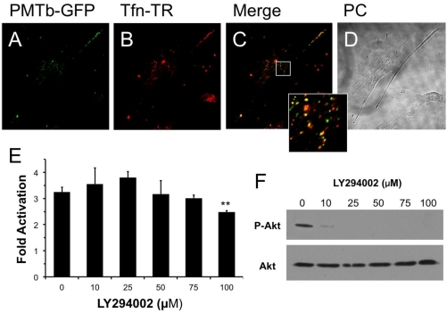 PMTb-GFP initially colocalizes with Tfn-Texas Red, but then diverges and is trafficked to endosomes through a PI3-kinase-independent process. Shown are confocal microscope images of Swiss 3T3 cells after treatment with PMTb-GFP, with the endosomes marked by Transferrin-Texas Red (Tfn-TR). Cells were treated with 260 µg/mL PMTb-GFP and with 20 µg/mL Tfn-TR for 3.5 h to visualize the endosomes. Cells were visualized by confocal microscopy using a 40× objective. ( a ) PMTb-GFP; ( b ) Tfn-TR; ( c ) merged image of (a) and (b); ( d ) corresponding phase-contrast image. Inset: Enlargement of the indicated section of the image, showing co-localization of PMTb-GFP and Tfn-TR; ( e ) HEK 293-T cells were transiently transfected with dual SRE-luciferase reporter plasmids and pcDNA3-Gα q  as described in Methods. Seven h post-transfection cells were treated with LY294002 at the indicated concentrations and incubated for 15 min before treatment with 100 ng/mL PMT. After 15 h incubation, cells were harvested and assayed for SRE reporter gene activity, as described in Methods. SRE fold activation was determined by dividing SRE reporter gene activity in PMT-treated cells by SRE reporter gene activity in untreated control cells. Data is expressed as an average of three experiments ± S.D., with each experiment performed in triplicate, where **  p
