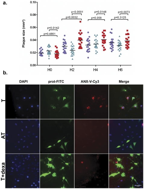 Dexamethasone treatment inhibited apoptosis induction in R. conorii -infected cells or in a model of cells microinjected with R. felis VapC -2 protein. a. The mean ± standard deviation (sd) of the lytic plaque sizes from infected cells that were treated with chloramphenicol (red square), pre-incubated with dexamethasone and treated with chloramphenicol (green arrowhead) or mock treated with PBS (blue circle) at 0, 2, 4 and 6 hours after treatment. b. Microinjected L929 cells with dextran-FITC associated with VapC-2 protein (T) or VapB-2 (AT). From left to right, all panels show fluorescence microscopy images using DAPI, dextran-FITC and Anx-V -Cy3 staining and the overlay channel. In the lower panels (T+dexa), the L929 cells were pre-incubated for 24 hours in MEM supplemented with 1 µM dexamethasone before the toxin microinjection. Scale bars represent 40 µm (see the experimental procedures section).