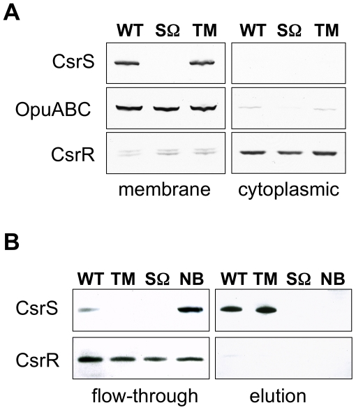 CsrS is associated with the cell membrane and contains a surface-exposed domain. A) Western blot analysis of membrane and cytoplasmic fractions isolated from whole cell lysates of GAS wild type strain 854 (WT), isogenic csrS deficient mutant strain 854 csrS Ω (SΩ), and 854 csrS TM (TM) that expresses CsrS with 3 point mutations in the predicted extracellular domain. Specific antisera against CsrS, an unrelated membrane protein OpuABC, and CsrR were used to detect the respective proteins in both fractions. B) Biotin labeling via a disulfide linker of surface-exposed proteins in whole cells of wild type strain 854 (WT), 854 csrS Ω (SΩ) and 854 csrS TM (TM). After lysis of labeled cells, biotinylated proteins were captured on a NeutrAvidin column and then eluted by reducing the disulfide linker. Specific antisera detected CsrS in the eluted fraction, as expected for a surface-exposed protein, and CsrR in the flow-through, as expected for a cytoplasmic protein. As a control, wild type 854 cells were treated similarly, but without biotin labeling (NB). Results shown in both panels are representative of at least two independent experiments.