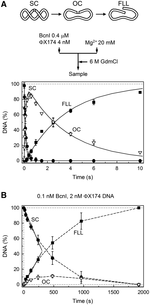 BcnI reactions on the supercoiled <t>ΦX174</t> <t>DNA.</t> The scheme above panel (A) illustrates the various DNA forms that can exist during BcnI reactions on supercoiled phage ΦX174 DNA bearing a single BcnI recognition site. ( A ) Single turnover reaction with 2 nM of DNA substrate and 200 nM of BcnI. The flow diagram above the graph schematically depicts the experiment performed in a quench-flow device (see 'Materials and Methods' section for details). Three DNA forms are shown: supercoiled DNA (SC, filled circles), open circular intermediate (OC, down triangles) and full length linear product (FLL, filled squares). All data points are presented as mean values from three independent experiments ±1 SD. Continuous lines are the best fit to the reaction equation SC − k 1 →OC − k 2 →FLL that gave k 1 = 8.3 ± 0.2 s −1 (the rate constant for nicking of the first DNA strand) and k 2 = 0.27 ± 0.1 s −1 (the rate constant for cleavage of the second DNA strand). ( B ) Steady-state experiment. All data points are mean values from seven independent experiments ±1 SD. The reaction contained 2 nM DNA and 0.1 nM BcnI. The initial SC cleavage and FLL formation rates (0.0036 ± 0.0003 nM s −1 and 0.0028 ± 0.0003 nM s −1 , respectively), determined from linear fits (solid lines), indicate that BcnI converts 77% (ratio 0.0028/0.00365) of the initial substrate SC into the final reaction product FLL during a single binding event. The reaction k cat equals 0.036 ± 0.003 s −1 (0.0036 nM s −1 /0.1 nM BcnI).