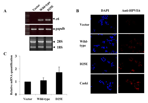 Confirmation of HPV-16 E6 oncogenes expression and effects on the transcription of endogenous survivin gene in C33A cell lines with e6 oncogenes . A . Quantification of mRNA of wild-type E6 and E6 D25E in C33A cells by RT-PCR performed using OneStep RT-PCR kits. GAPDH mRNA was measured as a loading control. B . Protein expression analysis of wild-type E6 or E6 D25E using confocal microscopy. Caski cells were used as a positive control. C . Quantative real-time PCR specific for survivin gene.
