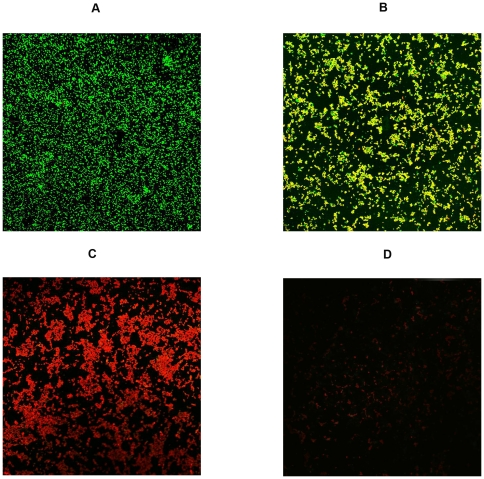 Confocal laser scanning microscopy image of LIVE/DEAD®-stained illustrating the effects of different MOL concentrations on established S. aureus ATCC 25923 biofilm formation. Biofilms were formed on coverslides within 48 h at 37°C. Established biofilms were treated with MOL at 128 µg/mL, 256 µg/mL, or 512 µg/mL for 48 h at 37°C. (A) Control (untreated); (B to D) treatment with MOL at 128 µg/mL, 256 µg/mL, or 512 µg/mL respectively. Green, viable cells; Red, dead cells.