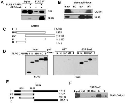 CARM1 is in association with Sox2. (A) Co-immunoprecipitation of Sox2 with CARM1. Whole cell extracts (WCEs) of MCF7 cells transfected with (+) or without (-) FLAG-CARM1 or GFP-Sox2, were subjected to immunoprecipitation with anti-FLAG antibody and blotted with antibodies against GFP or FLAG. (B) Co-precipitation of endogenous CARM1 with Sox2 by DNA pull-down. Biotin-labeled probes covering Sox2-binding sites in fgf4 and utf1 respectively were incubated with WCEs of P19 cells and streptavidin-conjugated agarose beads. The proteins precipitated with beads were denatured and resolved in SDS-PAGE and detected by immunoblotting with antibodies against Sox2 or CARM1. NC: negative control, no probe added. (C) Schematic drawing of the wild type and truncated CARM1 fragments. (D) GST pull-down assays to detect the interaction of Sox2 with CARM1 derivates. GST or GST-Sox2 was first incubated with WCEs of HEK293T cells ectopically expressing FLAG-CARM1 derivates. The GST pull-down products were immunoblotted with anti-FLAG antibody. Input: WCE control. (E) Schematic drawing of the wild type and truncated Sox2 fragments. (F) The interaction of Sox2 derivates with CARM1 in GST pull-down assays. GST or GST-Sox2 derivates were first incubated with whole cell extracts (WCEs) of HEK293T cells ectopically expressing FLAG-CARM1. The GST pull-down products were immunoblotted with anti-FLAG antibody.