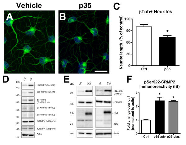 Impaired neurite outgrowth is accompanied by CRMP2 hyperphosphorylation in NPC-derived neural progeny overexpressing p35 . Differentiating NPCs were grown on glass coverslips and infected on day 2 with an adenoviral vector expressing p35. Cells were processed for immunocytochemistry and immunoblot analyses. For β-tubulin immunofluorescence, on day 4, cells were briefly extracted, then fixed with glutaraldehyde and processed. (A,B) Reduced β-tubulin-immunoreactive neurites in NPC-derived neural progeny infected with p35-adv. (C) Quantitative image analysis showing reduced neurite lengths in NPC-derived neural progeny with p35 expression. (D) Immunoblot analysis of cell lysates from control and p35-expressing NPCs using a panel of antibodies specific for various isoforms and phosphorylated forms of CRMP. (E) Immunoblot analysis of total cell lysates showing increased CRMP2 phosphorylation in NPC-derived neural progeny expressing p35 from adenoviral (left panel) or plasmid (right panel) vectors. (F) Semi-quantitative image analysis of fold change in CRMP2 phosphorylation at the CDK5 epitope (Ser522) in immunoblots from cells expressing p35 from adenoviral or plasmid vectors. * p