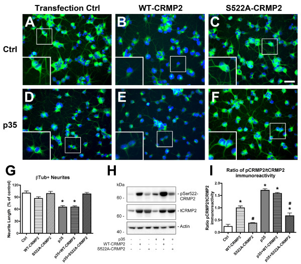 Expression of S522A-CRMP2 mutant construct rescues neurite deficits in p35-expressing NPC-derived neural progeny . Differentiating NPCs were transfected on day 2 with wild-type (WT) human CRMP2 or mutated S522A-CRMP2 plasmids, followed by infection with p35 adenovirus. Cells were fixed on day 4 of differentiation with glutaraldehyde for β-tubulin immunofluorescence, or lysed for immunoblot analysis. (A-F) Immunocytochemical analysis of β-tubulin immunoreactivity showed reduced β-tubulin-positive neurites in NPC-derived neural progeny infected with p35-adv with or without co-expression of WT-CRMP2, and rescue with co-expression of S522A-CRMP2 plasmid. (G) Image analysis showing reduced β-tubulin-positive neurite lengths in p35-expressing and p35+WT-CRMP2 NPC-derived neural progeny that was recovered after co-expression of p35 and S522A-CRMP2. (H) Immunoblot analysis showing levels of CRMP2 phosphorylation in p35-expressing NPC-derived neural progeny transfected with S522A-CRMP2 or WT-CRMP2 plasmid. (I) Semi-quantitative image analysis of ratios of pSer522-CRMP2 (pCRMP2)/total CRMP2 (tCRMP2) levels in NPC-derived neural progeny expressing p35 with and without WT-CRMP2 or S522A-CRMP2 co-expression. * p