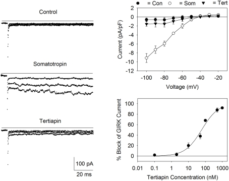 Expression of GIRK channels in AtT20 cells . Left panel: Currents were measured before (control) and after the addition of somatostatin (200 nM) during voltage steps applied from the holding potential of −40 to −60, −80, and −100 mV. Addition of tertiapin (500 nM) inhibited the current (bottom records). The solid lines represent zero current. Top right panel: I/V relationship for the somatostatin activated current (Som) displayed inward rectification and a reversal potential of −40 mV. Current values were obtained by subtracting the currents by records obtained in the presence of 1 mM BaCl 2 . Each point represents the mean ± SE current (pA/pF) measured in three to five cells. Bottom right panel: dose versus response curve for tertiapin-Q block of the AtT20 cell GIRK current. Each point represents the mean ± SE inhibition obtained from three to six experiments. The calculated IC 50 value for tertiapin-Q block was 60 nM.