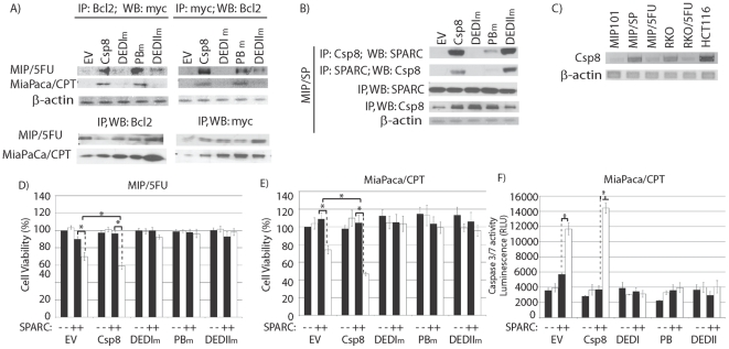 The DEDI-domain of caspase 8 is critical for its interaction with Bcl2. Vectors containing mutations in specific domains (DEDI, putative binding(PB), DEDII) of caspase 8 were transiently transfected into ( A ) MIP/5FU, MiaPaca/CPT or ( B ) MIP/SP cells, to determine the ability of the mutant proteins to co-IP with Bcl2 or SPARC. C ) Basal levels of caspase 8 gene expression between various cancer cell lines. D–F ) The effect of SPARC on cell viability ( D, E ) or apoptosis ( F ) in cells overexpressing mutant forms of caspase 8 was assessed. Cells were transiently transfected with wild-type caspase 8 (Csp8), mutants (DEDIm, PBm, and DEDIIm), or empty-vector (EV, control) for 48 h, followed by exposure to 100 ng/mL rSPARC for 48 h, and treated with 0 (▪) or 500 µM (□)5-FU for an additional 24 h. D–E ) In resistant cells, exposure to rSPARC and 5-FU resulted in decreased cell viability following transfection with EV-control: MIP/5FU: 90.14±2.80 (SPARC) vs. 69.89±4.64% (SPARC+5-FU) (p