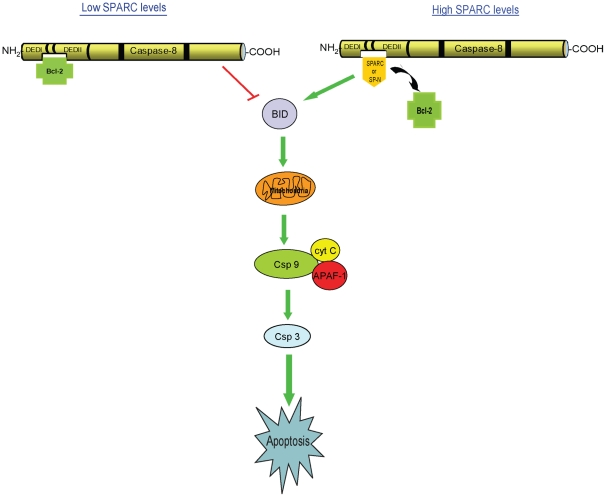 A model: SPARC-mediated apoptosis. A schematic of SPARC and Bcl2 interacting with caspase 8 to influence apoptosis. In this study, we demonstrate that in an environment low in SPARC, Bcl2 interacts with caspase 8 to inhibit apoptosis. However, in the presence of SPARC or its N-terminus, these proteins interact with caspase 8 to inhibit its interaction with Bcl2, leading to an augmentation of the apoptotic cascade.