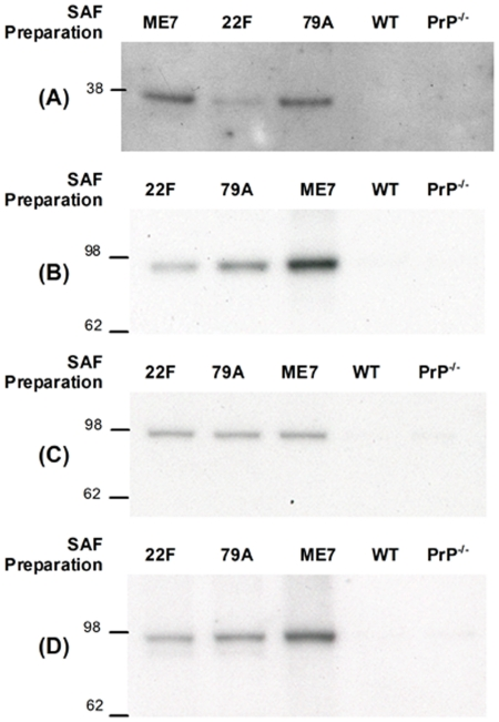Western blotting confirms the presence of ApoE and Na + /K + -ATPase α-chains in SAF preparations. Based on an estimate of 10 µg PrP Sc per brain, the equivalent of 0.25 µg/µl PrP Sc from an ME7 (lane 1), 22F (lane 2) and 79A (lane 3) SAF preparation were resolved by SDS-PAGE, blotted onto PVDF membrane and probed with the primary antibody against (A) Apolipoprotein E (B) Total Na + /K + ATPase α-chains using a pan α-chain antibody (C) Na + /K + ATPase α2 isoform and (D) Na + /K + ATPase α3 isoform. In all cases, in lanes 4 and 5 were loaded the equivalent of 0.25 µg/µl of control preparation material from uninfected WT and PrP −/− mouse brains respectively. Molecular weight markers are in kDa.