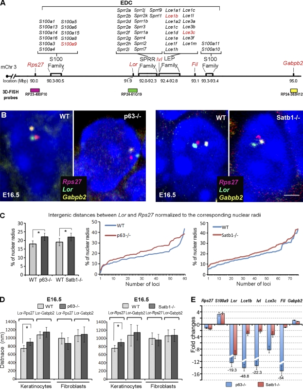 Alterations in the conformation of the 5 Mb chromatin domain containing EDC in the epidermis of p63 −/− and Satb1 −/− mice. The skin of E16.5 p63 −/− , Satb1 −/− , and corresponding WT mice was processed for 3D FISH analyses, which were correlated with changes in gene expression determined by quantitative RT-PCR. (A) A schematic structure of the 5 Mb domain on mouse chromosome 3 (mChr3) containing the EDC locus, Rps27 , and Gabpb2 genes. 3D FISH DNA probes detecting the corresponding domains are shown in green ( Loricrin ), pink ( Rps27 ), and yellow ( Gabpb2 ). Genes selected for quantitative RT-PCR analysis (shown in E) are shown in red. LEP, late-cornified envelope protein. (B) Multicolor 3D FISH with BACs covering the Rps27 , Lor , and Gabpb2 in the epidermal cells of p63 −/− , Satb1 −/− , and corresponding WT mice at E16.5 (representative single Z sections). Bar, 2 µm. (C) 3D FISH distances between the Rps27 and Lor normalized to the radius of each nuclei in basal epidermal cells of p63 −/− , Satb1 −/− , and corresponding WT mice. Pairwise comparisons represent a significant increase in the Lor-Rps27 distances between the E16.5 WT versus p63 −/− or Satb1 −/− mice (mean ± SEM, n = 60; *, P
