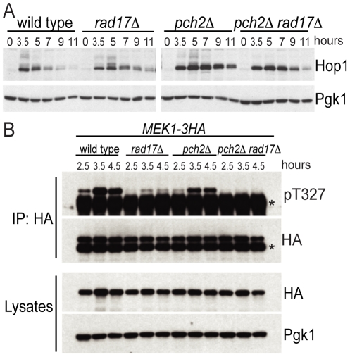 Pch2 and Rad17 promote Hop1 and Mek1 activation. (A) Western blot analysis of WT, rad17Δ , pch2Δ and pch2Δ rad17Δ at indicated time points after transfer to SPM using α-Hop1 antibody. Pgk1 Western blot was used as the loading control. The phosphorylated isoforms of Hop1 are detectable as slow-moving species. (B) Mek1–3HA immunoprecipitates from WT, rad17Δ , pch2Δ and pch2Δ rad17Δ at indicated time points were analyzed by Western blot using α-phospho-Akt substrate (recognizing pT327 of Mek1) and α-HA antibodies. *IgG heavy chain. Cell lysates were analyzed by Western blot using α-HA and α-Pgk1 antibodies.