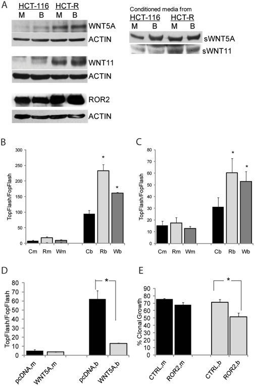 HDACi-resistant HCT-R cells suppress Wnt/beta-catenin activity by overexpressing mediators of noncanonical Wnt signaling. (A) Representative western blot analyses of CC cells and their conditioned media after exposure to mock treatment (M) or 5 mM butyrate (B) for 19 hrs. (B and C). Silencing of WNT5A and ROR2 expression increases Wnt/catenin transcriptional activity of HCT-116 (B) and HCT-R (C) cells. Cells (50,000/well) were co-transfected with reporters for Wnt/catenin transcriptional activity (TopFlash or FopFlash, 50 ng/well), pRL-TK as a control for transfection efficiency, and control, ROR2 , or WNT5A siRNAs (10 pmol/well). Nucleic acids were introduced in the cells via a reverse transfection protocol with Lipofectamine 2000 in 96-well plates. At 31 hrs post-transfection, cells were exposed for 20 hrs to mock (m) or 5 mM butyrate (b) treatment. Wnt transcriptional activity was calculated as the ratio of the activity of TopFlash (with wild type Lef/Tcf binding sites) and FopFlash (with mutant Lef/Tcf binding sites). Each transfection was performed in duplicate wells; data represent the mean from results of three experiments. (D). Overexpression of WNT5A suppresses canonical Wnt transcriptional activity of HCT-116 cells. The co-transfection of HCT-116 cells (50,000/well) with the Wnt activity reporters TopFlash or FopFlash (50 ng per well), and pcDNANeo3.1 or WNT5A-expressing construct (150 ng per well) were carried out through a reverse transfection with Lipofectamine (0.7 µl/well) in 96-well plates. Post-transfection, cells were exposed to mock treatment (m) or 5 mM butyrate (b) for 20 hrs. Each transfection was performed in duplicate wells; data represent the mean from results of at least three experiments. (E) Suppression of ROR 2 expression increases the sensitivity of the HDACi-resistant HCT-R cells to the growth-suppressive effect of butyrate. HCT-R cells (10 6 ) were nucleofected with 175 pmol of ROR2 (Invitrogen) or control siRNA, and 500,000 cells wer