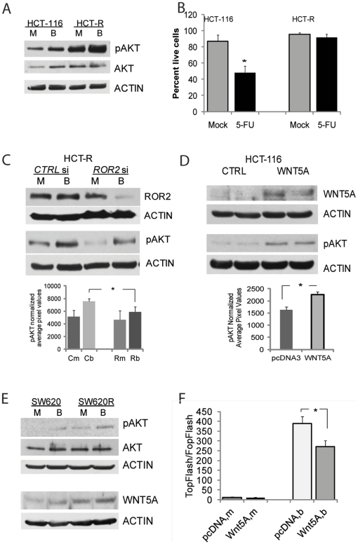 HDACi-resistant HCT-R cells exhibit high expression levels of pAKT, a downstream effector of WNT5A and ROR2. (A) HDACi-resistant HCT-R cells express higher levels of pAKT than HDACi-sensitive HCT-116 cells. Cells were plated in 6-well plates at 450,000 cells per well, and at 24 hrs were exposed to mock (M) or 5 mM butyrate (B) treatment for 17 hrs. Total protein lysates were analyzed by western blot analyses, and levels of Ser473-phosphorylated AKT (pAKT), total AKT(AKT), and ACTIN were detected as described in Materials and Methods . (B) HCT-R cells are more resistant to 5-fluorouracil (5-FU) induced apoptosis than parental HDACi-sensitive HCT-116 cells. Cells were exposed to 1.5 mM 5-FU for 24 hrs, and apoptotic assays were performed as described in Materials and Methods . Percentage of live cells was calculated by dividing the number of live cells by the total number of analyzed cells. (C) Silencing of ROR2 expression in HCT-R cells decreases the levels of Ser473-phosphorylated AKT. One-million cells were nucleofected with control or ROR 2 siRNAs (175 pmol, Invitrogen), and plated at 500,000 per well in 6-well plates. At 24 hrs post-transfection, the cells were exposed to mock (M) or 5 mM butyrate (B) for 19 hrs. Total cell lysates were analyzed by western blot; a representative western blot is shown. The bar graph under the western blot image represents the quantification of pAKT levels in three independent experiments by densitometry, the difference between butyrate-treated cells are statistically significant (P
