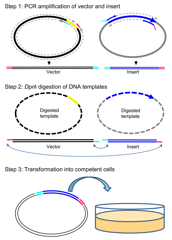 The procedures for FastCloning: Step 1. PCR amplification of vector and insert. Note that the primer pair for insert amplification has 16-base tails overlapping with the PCR-amplified vector ends. Step 2. Dpn I digestion. The parent DNA templates (if in a plasmid) for PCR amplification needs to be methylated in order to be compatible to Dpn I digestion. Although the detailed mechanism is not known, it is likely that the 3' exonuclease activity of the high fidelity DNA polymerase directly creates sticky ends for the overlapped regions of the vector and insert during Dpn I digestion, allowing them to form a circular construct with nicks. Step 3. transformation into competent E. coli . cells. The nicks will be repaired after transformation into the bacteria.