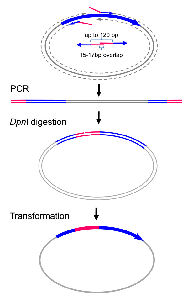 Chimera construction or insertion with a short DNA fragment . To replace a short stretch of DNA, such as a DNA fragment encoding a transmembrane region of a nAChR subunit for chimera construction, or to insert a short tag, such as FLAG-tag, into some part of a protein, amplification of the insert is not necessary. In this case, the insert can be directly included in two primers for single <t>PCR</t> amplification of the cDNA along with the vector. The forward primer starts immediately downstream of the insertion site and has a tail with the 3' part of the insert. The reverse primer starts immediately upstream of the insertion site and has a tail with 5' part of the insert. Two primers only require ~16-base overlap. Thus, for a 120 bp insertion, each primer needs to have a 68-base tail for insertion and ~17-22 bases for annealing (depending on the GC content). The total length of each primer will be about 85-90 bases. Dpn I digestion and transformation are the same as in Figure 1.