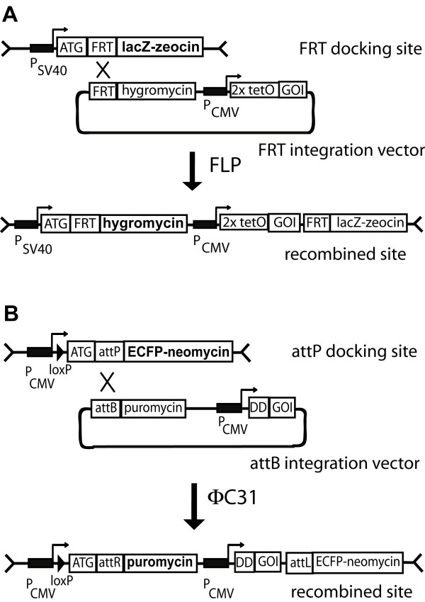 Scheme of the two independent integration systems used . A : FRT docking site is used as in the Flp-In T-Rex™ system (Invitrogen). The FRT sequence is placed downstream and in frame of the translational initiation codon ATG from the lacZ-zeocin fusion protein. After FLP mediated recombination with the FRT sequence of the integration vector, lacZ-zeocin expression is turned off and hygromycin resistance is activated. The GOI (gene-of-interest) is placed downstream of the hygromycin resistance cassette and controlled by the tetracyclin inducible CMV promoter containing the two tetracycline operators (2xtetO). B : attP docking site for ΦC31 integrase mediated integration. The attP sequence is placed downstream and in frame of the translational initiation codon ATG from the ECFP-Neo fusion protein. After ΦC31 mediated recombination with the attB sequence of the integration vector, ECFP-Neo expression is turned off and puromycin resistance is activated. The GOI is placed downstream of the puromycin resistance cassette and controlled by the CMV promoter. The N-terminal destabilizing domain (DD) is linked to the GOI to allow regulation by Shld1.