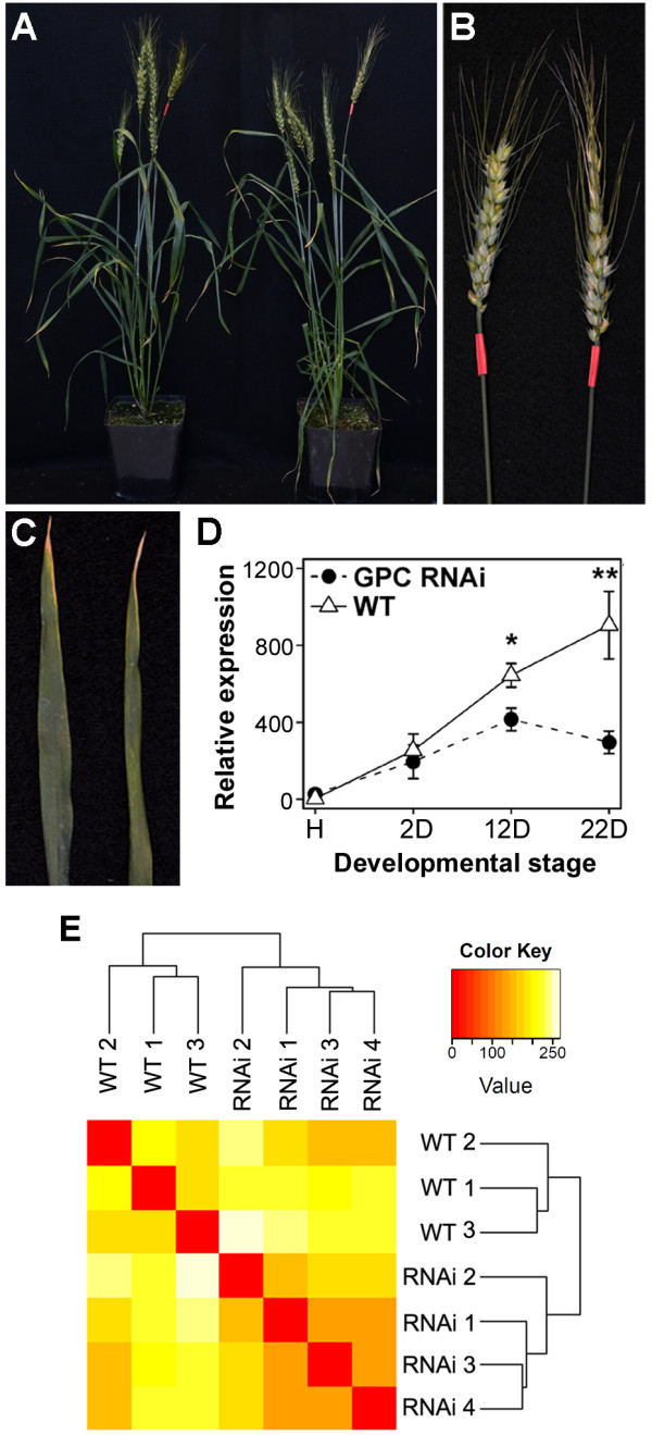 WT and GPC-RNAi plants 12 days after anthesis . (A) WT (left) and GPC-RNAi plants at 12 DAA used to analyze the GPC -dependent transcriptional changes. (B C) Close-up images of the ears (B) and flag leaves (C) from WT (left) and GPC-RNAi plants (right) at 12 DAA. (D) Expression profile of the GPC genes relative to ACTIN in WT and GPC-RNAi plants across a senescing leaf time course (H = heading, D = days after anthesis). Transcript levels are presented as normalized, linearized values from 10 biological replicates (± SEM) derived from the 2 -ΔΔ C t method [ 36 ], where Ct is the threshold cycle. * P≤0.05, ** P≤0.01. (E) Sample clustering based on counts of Illumina reads mapped on <t>454</t> <t>contigs.</t> Dendrogram represents the hierarchical clustering of samples as determined by Euclidean distance. The heat map shows a false color representation of the Euclidean distance matrix (from red for zero distance to white for large distance).