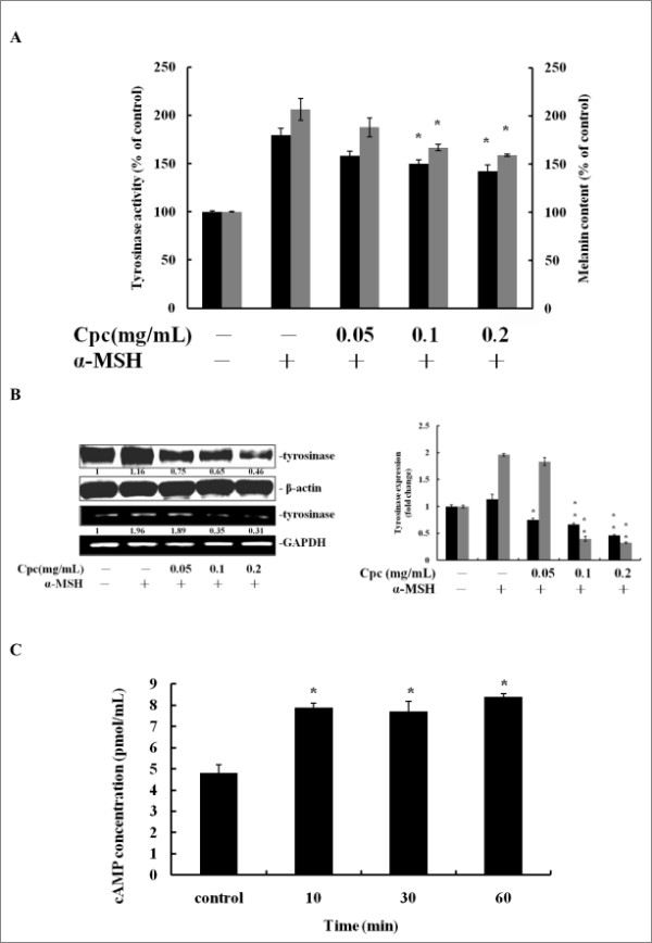 Cpc attenuated α-MSH-stimulated melanogenesis and elevated the abundance of intracellular cAMP . Cells were pretreated with 20 nM α-MSH for 30 mins, and then treated with Cpc (0.05, 0.1, 0.2 mg/mL) for 72 hrs. (A) Tyrosinase activity (black) and melanin content (grey) were measured. (B) The expression of tyrosinase was determined by immunoblotting analysis (black) and RT-PCR (grey), using β-actin and GAPDH as internal standards, respectively. (C) The cAMP concentration was measured by enzyme immunoassay at assigned time intervals (10, 30, 60 min) after Cpc treatment. Data were expressed at mean ± SD from three different experiments. The asterisk (*) indicates a significant difference from control group (*, P