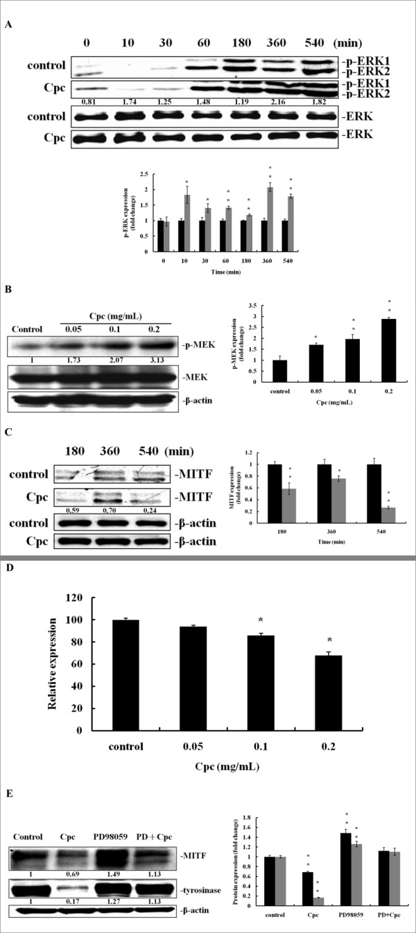 Effect of Cpc on cAMP/MAPK/ERK pathway and MITF expression at protein and mRNA levels . Immunoblot analysis was performed with cell extract proteins treated with (A) Cpc (0.1 mg/mL) at assigned time intervals for ERK1/2 (control (black); CPC-treated (grey)), and (B) different Cpc concentration (0.05, 0.1, 0.2 mg/mL) at 540 min for MEK. (C) Cell extract proteins at assigned time intervals treated with Cpc (0.1 mg/mL) were examined by Immunoblot analysis for MITF using β-actin as internal standards (control (black); CPC-treated (grey)). (D) Different levels of Cpc (0.05, 0.1, 0.2 mg/mL) treated MITF mRNA were analyzed by Q-PCR at 540 min. (E) Immunoblot analysis treated with Cpc (0.1 mg/mL), PD98059 (PD, 20 μM), and Cpc+PD at 72 hrs were performed for the evaluation of MITF and tyrosinase expression (MITF (black); tyrosinase (grey)). Data were expressed at mean ± SD from three different experiments. The asterisk (*) indicates a significant difference from control group (*, P