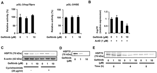 Translational regulation of expression of HSP70 by gefitinib. A549 cells were co-transfected with pRL-SV40 (internal control plasmid carrying the R. reniformis luciferase gene) and a pGL-3 derivative (pGL-3/ hsp70 pro or pGL-3/HSE) and cultured for 24 h. Cells were incubated with the indicated concentration of gefitinib for 24 h and P. pyralis luciferase activity was measured and normalized for R. reniformis luciferase activity. The 100% value of the P. pyralis luciferase activity is 6.9×10 4 or 5.8×10 4 units for pGL-3/ hsp70 pro or pGL-3/HSE, respectively (A). A549 cells were pre-incubated with 1 µg/ml actinomycin D (ActD) (B) or 20 µg/ml cycloheximide (C) for 1 h and further incubated for 8 h (B) or 24 h (C) with the indicated concentration of gefitinib (B, C). The mRNA (B) and protein (C) expression was monitored and is expressed as described in the legend of Fig. 1 A549 cells were pulse-labelled for 15 min with [ 35 S]methionine and [ 35 S]cysteine (D, E). Before the pulse-labelling, cells were incubated with the indicated concentration of gefitinib for 8 h (D). Pulse-labelled proteins were chased with excess amounts of Non-radioactively labeled methionine and cysteine for the indicated period in the presence of the indicated concentration of gefitinib (E). Labelled proteins were extracted, immunoprecipitated with antibody against HSP70, subjected to SDS-PAGE and autoradiographed (D, E). Values are mean ± S.D. ( n = 3). ** P