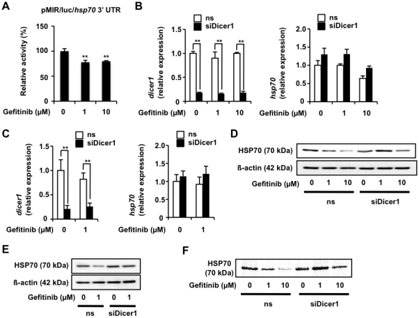 Contribution of miRNA to gefitinib-dependent suppression of expression of HSP70. A549 cells were co-transfected with pRL-SV40 and pMIR/luc/ hsp70 3' UTR and cultured for 24 h. Cells were incubated with the indicated concentration of gefitinib for 24 h and luciferase reporter assay was done as described in the legend of Fig. 2 . The 100% value of the P. pyralis luciferase activity is 1.2×10 5 units (A). A549 cells were transfected with siRNA for Dicer1 (siDicer1) or non-specific siRNA (ns) (B-D). After 24 h, cells were incubated with the indicated concentration of gefitinib for 12 h (B), 24 h (C) or 8 h (D). The mRNA (B) and protein (C) expression was monitored and is expressed as described in the legend of Fig. 1 . Pulse-labelling experiments were performed as described in the legend of Fig. 2 (D). Values shown are mean ± S.D. ( n = 3). ** P