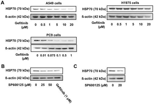 Involvement of inhibition of EGFR and JNK in gefitinib-dependent suppression of expression of HSP70. A549 (A-C) and H1975 and PC9 (A) cells were incubated with the indicated concentration of gefitinib (A, B) or SP600125 (B) for 24 h. Protein expression was monitored and is expressed as described in the legend of Fig. 1 .