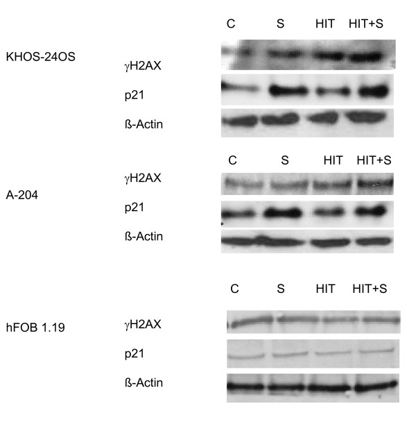 <t>Immunoblot</t> analyis of γH2AX and p21 . γH2AX-expression measured immunhistochemically 2 hours after HIT and p21 expression in KHOS-24OS, A-204 and HFOB1.19 treated with vehicle control (C), 0,5 (A-204)-1 μM (KHOS-24OS and HFOB1.19) SAHA and HIT (cell specific doses, see Figure 9) or the combination of SAHA and HIT 24 h after HIT.