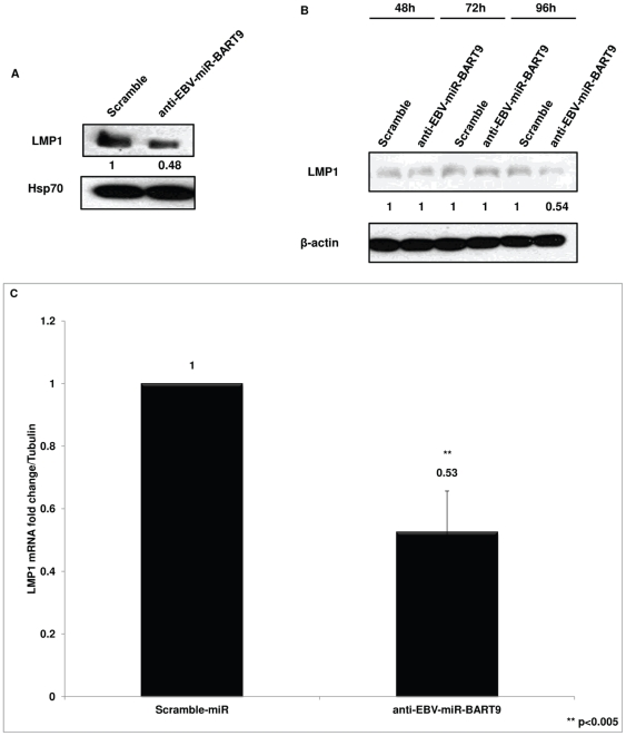 Immunoblot and Q-RT-PCR analysis of LMP1 expression in SNK6 following inhibition of EBV-BART9 miRNA. ( A ) SNK6 cells were transfected with anti-EBV-BART9 miRNA or Scramble control miRNA and cell lysates prepared 96 hours post-transfection. LMP1 protein expression was analyzed in immunoblots. When compared to cells transfected with control miRNA and normalized to β-actin loading control, quantification of immunoblots showed that BART9 inhibition reduced LMP1 protein levels by ∼50%. ( B ) SNK6 cells were transfected with control or anti-EBV-BART9 miRNA and samples collected every 24 hours in a time-course experiment. Cell lysates were prepared and immunoblot analysis carried out to determine LMP1 expression. Quantification of LMP1 levels using Image J as described above showed that LMP1 protein levels are reduced only at later time-point. ( C ) SNK6 cells were transfected with either anti-EBV-BART9 or control miRNA and cells collected 96 hours post-transfection. Total RNA was extracted and <t>cDNA</t> synthesized using <t>iScript</t> cDNA synthesis kit. Using LMP1 specific primers, Q-PCR was carried out and data analyzed using the ΔΔCt method. Data shown is the average ± SD from three independent experiments. (** represents p value of