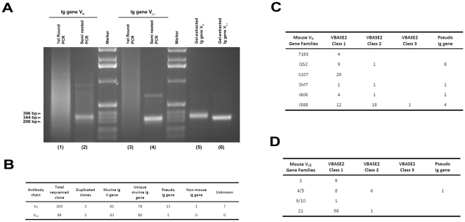 Retrieval of the variable region of rearranged germline immunoglobulin genes by semi-nested <t>PCR.</t> (A) Genomic DNA (200 ng) from CD19 + splenocytes was used as templates for semi-nested PCR to retrieve the variable region of rearranged Ig genes. The 1 st round PCR products of heavy- (lane 1) and κ light- (lane 3) chains were used as templates for the 2 nd round semi-nest PCR (lane 2 and 4). Sizes of PCR products were estimated against the 1 Kbp DNA ladders (Marker). Primers used and PCR protocols are described in Methods. After gel purification, the 2 nd round semi-nested PCR products of heavy- (lane 5) and κ light- (lane 6) chains were cloned into Topo TA or <t>pGEM-T</t> vectors for nucleotide sequence determination. (B) Sequence analysis indicates that 92% and 100% of the randomly picked V H or V Lκ clones are mouse immunoglobulin genes, respectively. The sequence V H (C) or V Lκ (D) clones were further analyzed against the VBASE2 Ig database, indicating all the sequenced clones are germline-derived. Class 1 genes are with genomic and rearranged evidence; Class 2 genes are with genomic evidence only; Class 3 genes are with rearranged evidence only as defined by VBASE2.