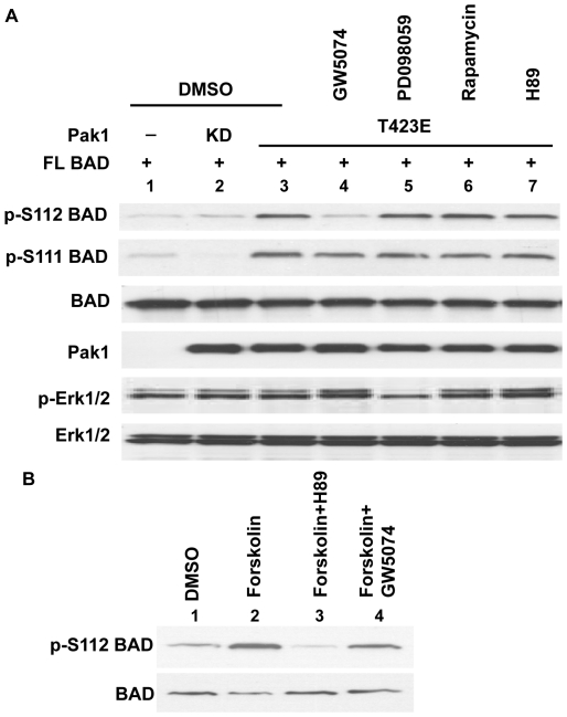 Pak1 stimulates phosphorylation of Ser112 on BAD via <t>Raf-1.</t> (A) Effects of kinase inhibitors on BAD S112 phosphorylation. 293T cells were co-transfected with expression vectors encoding full length (FL) WT BAD and Pak1 (KD or T423E). 24 hr after transfection, cells were starved for 16 hr and treated with GW5074 (5 µM), PD098059 (20 µM), Rapamycin (5 µM) or H89 (5 µM) for 2.5 hr as indicated. Equal amounts of proteins were used for Western blot to assess BAD phosphorylation at S112 or S111. The cell lysates were also subjected to immunoblotting with anti-BAD, anti-Myc, anti-phospho-ERK and anti-ERK antibodies. (B) Effects of inhibitors on forskolin stimulated activation of BAD phosphorylation. 293T cells were transfected with full length (FL) WT BAD for 24 hr, starved for 16 hr and treated with vehicle (DMSO), GW5074 (5 µM), or H89 (5 µM) for 2.5 hr prior to forskolin (50 µM) treatment. Equal amounts of proteins were used for Western blot to assess BAD phosphorylation at S112. The cell lysates were also subjected to immunoblotting with anti-BAD.