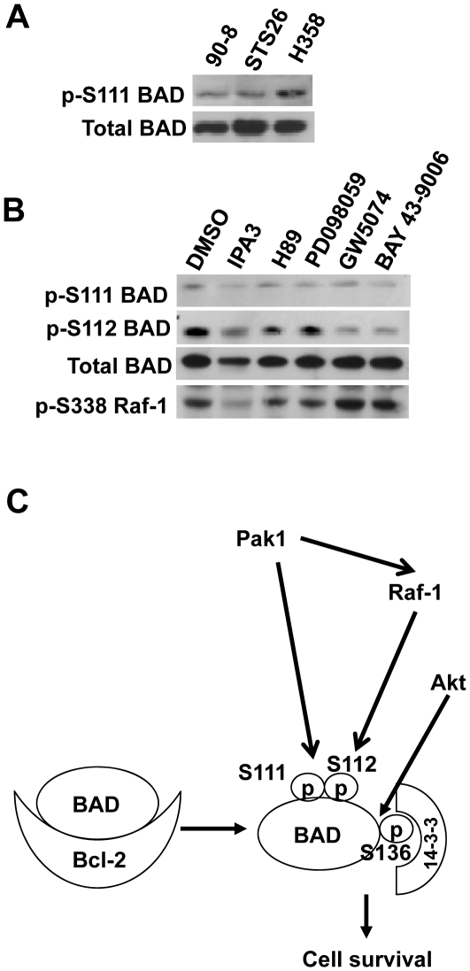 Pak1 inhibition reduced BAD S111 and S112 phosphorylation. (A) BAD S111 phosphorylation was observed in a lung cancer cell line H358 and the MPNST cell lines 90-8 and STS26. (B) Effects of protein kinase inhibitors on BAD S111 and S112 phosphorylation. The MPNST cells, ST88-14, were starved and treated with vehicle (DMSO), IPA3 (20 µM), GW5074 (5 µM), or H89 (5 µM) for 15 hr. Equal amounts of proteins were used for Western blot to assess BAD phosphorylation at S111and S112. The cell lysates were also subjected to immunoblotting with anti-BAD. As a control, Raf-1 phosphorylation at S338 was examined. (C) Model showing that Pak1 phosphorylates BAD at S111 directly, but most of its protective effects are mediated through Raf-1 and phosphorylation of S112. S111 also appears to facilitate phosphorylation at S112 because mutating it reduces phosphorylation by Pak1, but not phosphorylation by PKA. S136 is the most important phosphorylation site for the BAD/14-3-3 complex formation as previously observed. The enhanced Bcl-2 binding by the triple mutant is likely the result of the release of BAD from 14-3-3 sequestering in addition to the enhanced Bcl-2 association.