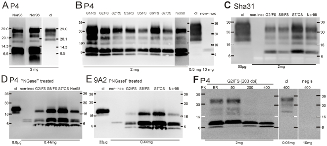 Molecular PrP res typing of atypical scrapie affected tg338 mice. Western blots for PrP res of representative brain extracts following <t>SDS-PAGE</t> using (A) 16.5% <t>tris-glycine</t> and (B-F) 4–20% tris-glycine gradient gels. Immunochemical detection was performed with antibodies P4, Sha31 or 9A2 as indicated. In some instances ( D , E) , samples were deglycosylated with PNGaseF. (F) Atypical scrapie PrP res banding pattern following sample pretreatment with different concentrations of proteinase K (PK, in µg/ml), compared to the PK digestion protocol of the Bio-Rad TeSeE confirmatory Western blot (BR). Identification codes for the atypical scrapie isolates are shown at the top. Controls: cl, classical scrapie affected tg338 mouse; non-inoc, non-inoculated tg 338 mouse; neg s, TSE negative sheep. Molecular mass standards in kDa and loaded tissue equivalents are indicated.