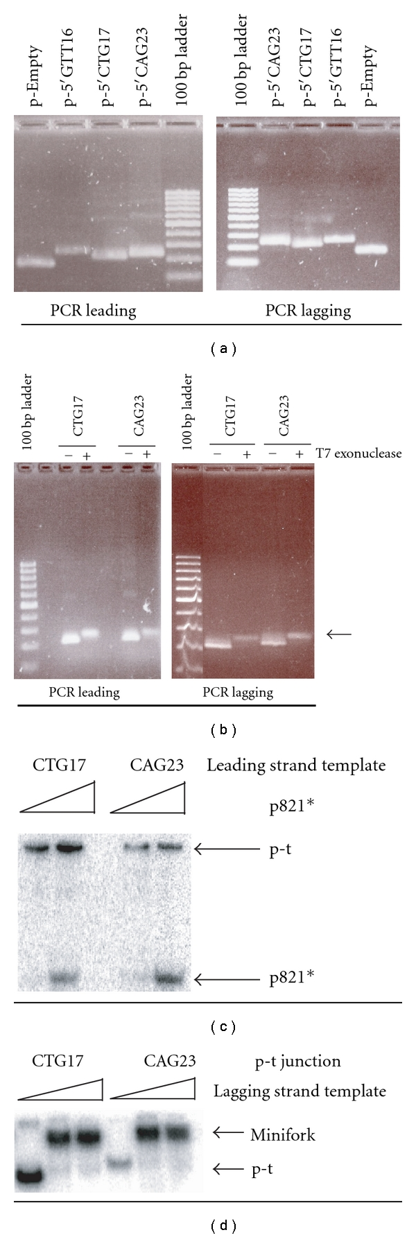 """Preparation of leading and lagging strand templates, p-t junctions and miniforks. The DNA fragments in the 100 base pair (bp) ladder are 100, 200, 300, 400, 500/517, 600, 700, 800, 900, and 1000 pbs. (a) The agarose gels stained by ethidium bromide (EtBr) show the products of the PCR obtained with the four plasmids (p-Empty, p-5′GTT16, p-5′CTG17, and p-5′CAG23) and the oligonucleotide couple specific of the leading (""""PCR leading""""; left) or the lagging (""""PCR lagging""""; right) strand. The name of the plasmids used for the PCR is indicated at the top of the gels. (b) The agarose gels stained by EtBr show the products of the T7 exonuclease digestion. The PCR products obtained with p-5′CTG17 (CTG17) and p-5′CAG23 (CAG23) and the oligonucleotide couple specific of the leading (""""PCR leading""""; left) or the lagging (""""PCR lagging""""; right) strand were treated (+) or not (−) by T7 exonuclease. After treatment with T7 exonuclease, the appearance of a DNA band with a slower electrophoretic migration and a weaker intensity (indicated by a backward arrow) than the ds DNA is indicative of ss DNA production. (c) The ss leading strand templates containing either 17 repeats of CTG (CTG17) or 23 repeats of (CAG23) are mixed with increasing amounts of radiolabelled p821 (p821*) to generate the p-t junctions. Species are resolved on a native gel. Free p821 migrates faster than the p-t junctions. (d) The p-t junctions containing 17 repeats of CTG (CTG17) or 23 repeats of (CAG23) on their leading strand are mixed with increasing amounts of ss lagging strand template to assemble the miniforks. Species are resolved on a native gel. The miniforks migrate more slowly than the p-t junctions."""
