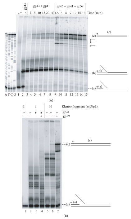 DNA synthesis activity of minimal reconstituted T4 replisomes across a minifork containing a random sequence. The minifork was prepared with the plasmid p-Empty and thus contains a random sequence to be replicated. <t>gp43,</t> gp41, and gp59 are the DNA polymerase, the helicase and the helicase loader of bacteriophage T4, respectively. (A) Gp43 was incubated with the minifork, alone (lane 2), with gp41 (lanes 3–8) or with gp41 and gp59 (lanes 9–15). The reaction was quenched at various times and the samples were loaded on a denaturing sequencing gel. (a) corresponds to the radiolabelled p821 primer. (b) corresponds to radiolabelled p821 extended by 15 nts up to the base of the 5′ ss tail of the lagging strand template. (c) corresponds to the radiolabelled p821 extended up to the end of the leading strand template after strand displacement DNA synthesis. The (a), (b), and (c) DNAs are also shown in the context of the minifork on the right side of the figure. Major transient intermediate products are indicated by backward arrows. The four sequencing reactions (A, T, C, and G) of the leading strand template of the minifork are shown on the left side of the figure. (B) The minifork was incubated with <t>Klenow</t> fragment alone (lanes 2 and 5), together with gp41 (lanes 3 and 6) or with gp41 and gp59 (lanes 4 and 7) for 20 minutes. The reaction products were resolved on a denaturing sequencing gel. Two amounts of Klenow fragment were tested (1 mU/ μ L, lanes 2–4; 10 mU/ μ L, lanes 5–7). (a) and (c) are as in 3A.