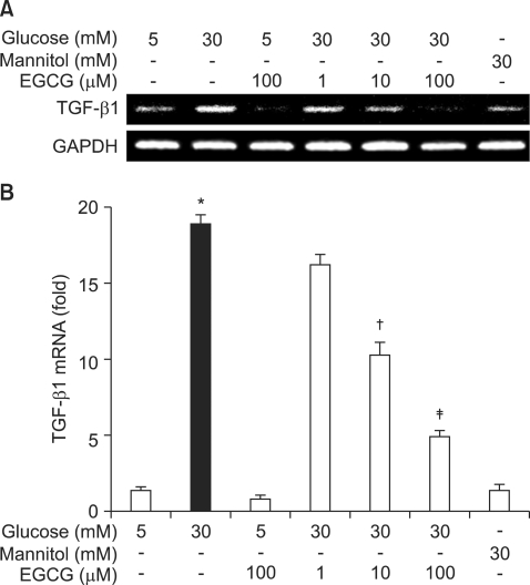 Effects of EGCG on the mRNA expression of TGF-β1. (A) GECs were pretreated with EGCG (100 µM), glucose (30 mM), or a combination of the two for 24 hours. Cellular RNAs were extracted and the mRNA expression of TGF-β1 and GAPDH was analyzed by RT-PCR. (B) The mRNA expression of TGF-β1 was measured by real-time RT-PCR as described in Materials and Methods. * p