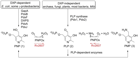 PLP formation catalyzed by PNPOx and associated vitamin B6 metabolic pathways. The role of <t>Rv2607</t> is shown in red. In E. coli , PNPOx catalyzes the last step in the DXP-dependent PLP biosynthetic pathway [2] . Most organisms capable of PLP biosynthesis produce PLP via PLP synthase, a macromolecular complex consisting of Pdx1 and Pdx2 [2] . Organisms with genes that encode both PLP synthase and PNPOx likely use PNPOx to salavage PLP from PNP and PMP, which are produced by enzymes that use PLP as a cofactor.